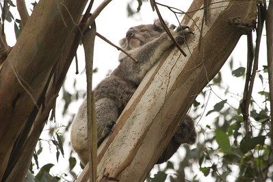 One of Australia's most iconic mammals is the Koala. Did you notice the little joey hanging on the underside of the bole? (Photo by guide Chris Benesh)