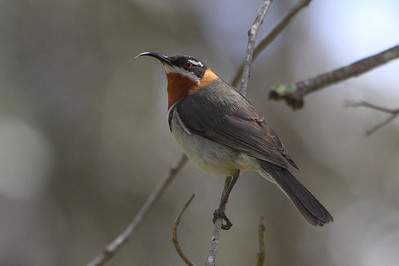 Guide Chris Benesh shared this wonderful photo-capture. The unmistakable Western Spinebill is restricted to southwestern Australia.