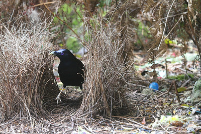 Male Satin Bowerbirds have a blue fetish, decorating their bower and surrounding area with anything indigo they can find. (Photo by guide Phil Gregory)