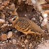 Another family well-represented in Australia is the Columbidae (pigeons and doves). One of the more peculiar members is Spinifex Pigeon; our group encountered this very obliging individual. (Photo by guide Chris Benesh)