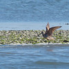 One of the more unusual shorebirds we observed was this Marbled Godwit. (Photo by participant Nancy Newman)