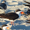 A roost of hundreds of Black Skimmers allowed us to carefully study their specialized bills. (Photo by participant Nancy Newman)