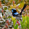 Asking a birder to choose a favorite fairywren is like asking a sommelier to choose a favorite wine. It is tough to pick among these colorful, spritely birds. This one happens to be a Superb Fairywren. (Photo by guide Phil Gregory)