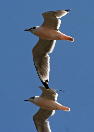 """Some of Chile's water-associated birds, at least seasonally, come from very far to the north.  Here, two pink-tinged Franklin's Gulls.<div id=""""caption_tourlink"""" align=""""right"""">Link to: <a id=""""caption_tourlink"""" href=""""http://www.fieldguides.com/chileheartsole.htm"""" target=""""_blank"""">THE HEART & SOLE OF CHILE</a><br>[photo © Alvaro Jaramillo]</div>"""