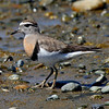 "Rufous-chested Dotterel is one of several lovely species of ""Southern Cone"" shorebirds seen on our Chile tours.<div id=""caption_tourlink"" align=""right"">Link to: <a id=""caption_tourlink"" href=""http://www.fieldguides.com/chileheartsole.htm"" target=""_blank"">THE HEART & SOLE OF CHILE</a><br>[photo © Alvaro Jaramillo]</div>"
