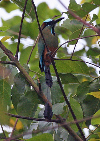 "Turquoise-browed Motmot was a fine addition to a day's birding on one of our 2008 Guatemala tours. Northern Central America is the epicenter of diversity of this beautiful group of birds.<div id=""caption_tourlink"" align=""right"">Link to: <a id=""caption_tourlink"" href=""http://www.fieldguides.com/guatemala.htm"" target=""_blank"">GUATEMALA: SHADE-GROWN BIRDING & HORNED GUAN HIKE</a><br>[photo © Alvaro Jaramillo]</div>"