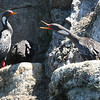 "Beyond endemic and specialty landbirds, of course, Chile is also a big draw for seabirds.  Above, Red-legged Cormorants, specialists of the cold Humboldt Current that runs up the west side of South America.<div id=""caption_tourlink"" align=""right"">Link to: <a id=""caption_tourlink"" href=""http://www.fieldguides.com/chileheartsole.htm"" target=""_blank"">THE HEART & SOLE OF CHILE</a><br>[photo © Alvaro Jaramillo]</div>"