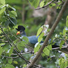 "And this Great Blue Turaco was keeping an eye on our group.  We'll have more photos from the field with our May emailing...till then, good birding!<div id=""caption_tourlink"" align=""right"">Link to: <a id=""caption_tourlink"" href=""http://www.fieldguides.com/kenya.htm"" target=""_blank"">KENYA</a><br>[photo © Jacqui Probst]</div>"