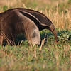 "It's hard for a Giant Anteater not to steal the show, at least temporarily, and make it onto the list of trip favorites as an 'honorary' bird at least!  These amazing creatures are regular on the ranch where we stay on this tour in the southern Pantanal -- who could have designed an animal any stranger!<div id=""caption_tourlink"" align=""right"">Link to: <a id=""caption_tourlink"" href=""http://www.fieldguides.com/brazsampler.htm"" target=""_blank"">BRAZIL: ITATIAIA, IGUAZU FALLS & THE PANTANAL</a><br>[photo © Brian Schoeffler]</div>"