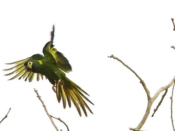 "Again, the lovely Golden-collared Macaw...<div id=""caption_tourlink"" align=""right"">Link to: <a id=""caption_tourlink"" href=""http://www.fieldguides.com/brazsampler.htm"" target=""_blank"">BRAZIL: ITATIAIA, IGUAZU FALLS & THE PANTANAL</a><br>[photo © Brian Schoeffler]</div>"