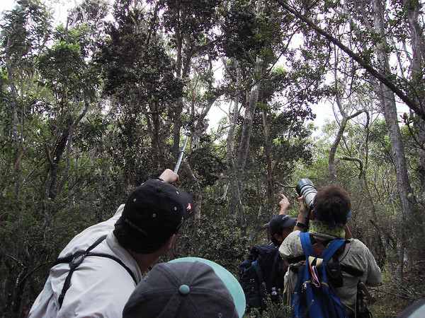 """The Aki is right there!"" Our recent Hawaii group getting great views of the rare Akiapola'au along the Pu'u O'o Trail on the Big Island.<div id=""caption_tourlink"" align=""right"">Link to: <a id=""caption_tourlink"" href=""http://www.fieldguides.com/hawaii.htm"" target=""_blank"">HAWAII</a><br>[photo © Dan Lane]</div>"