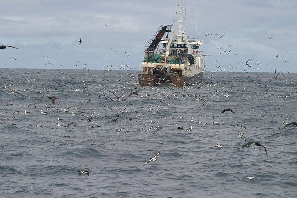 """Finding a trawler is the way to see thousands of seabirds off the Cape of Good Hope, as evidenced by this image sent in by South Africa participant Ken Havard.<div id=""""caption_tourlink"""" align=""""right"""">Link to: <a id=""""caption_tourlink"""" href=""""http://www.fieldguides.com/southafrica.htm"""" target=""""_blank"""">SOUTH AFRICA</a><br>[photo © Ken Havard]</div>"""