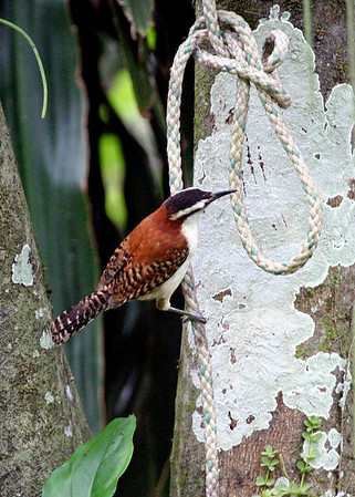 """Bird sets trap for larger prey!!""  Well, not really, but it was a curious setting for a colorful Rufous-naped Wren on one of our recent Guatemala tours!<div id=""caption_tourlink"" align=""right"">Link to: <a id=""caption_tourlink"" href=""http://www.fieldguides.com/guatemala.htm"" target=""_blank"">GUATEMALA: SHADE-GROWN BIRDING & HORNED GUAN HIKE</a><br>[photo © Alvaro Jaramillo]</div>"