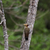 "And here, one of the same pair of Pale-crested Woodpeckers in a more restful pose!<div id=""caption_tourlink"" align=""right"">Link to: <a id=""caption_tourlink"" href=""http://www.fieldguides.com/brazsampler.htm"" target=""_blank"">BRAZIL: ITATIAIA, IGUAZU FALLS & THE PANTANAL</a><br>[photo © Brian Schoeffler]</div>"