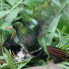 "Guides Jesse Fagan and Ned Brinkley led our inaugural <i>Honduras: Land of the Emeralds</i> tour in March.  The above image shows one of birding's never-to-be-expected moments and a somewhat strange trip highlight.  As Ned noted, ""none of us will forget the bizarre 'wrestling' match between the male Black-crested Coquettes at Cerro Azul-Meambar.""  For sure!<div id=""caption_tourlink"" align=""right"">Link to: <a id=""caption_tourlink"" href=""http://www.fieldguides.com/honduras.htm"" target=""_blank"">HONDURAS: LAND OF THE EMERALDS</a><br>[photo © Ned Brinkley]</div>"