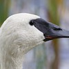Trumpeter Swan ORE17 Cory Gregory