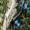 What greater goal in life could there be than to simulate a stump on a tree? It's a great daytime survival strategy for the nocturnal Tawny Frogmouth. (Photo by guide Chris Benesh)