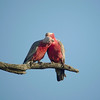 A pair of Galahs busy doing a little mutual preening. (Photo by guide Chris Benesh)