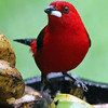 And if you find those a bit too dull (!), there's always the truly brilliant Brazilian Tanager as Plan B. (Photo by participant Bob Polkinghorn)