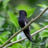 Black Jacobin is distributed in the Atlantic Forest from SE Brazil to N Argentina and visits the lodge hummer feeders regularly. It shows a huge white flash in the tail in flight. (Photo by participant Bob Polkinghorn)
