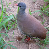 A Small-billed Tinamou came in amazingly close to check out our group! (Photo by guide Rose Ann Rowlett)