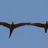 Chestnut-fronted Macaws passing overhead in formation in Bolivia in another image by George