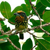 Next, a Gilded Barbet female also by Connie...