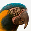 The endemic Blue-throated Macaw, a primary target of our extension, photographed by George