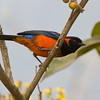 The fabulous Scarlet-bellied Mountain-Tanager (Photo by guide George Armistead)