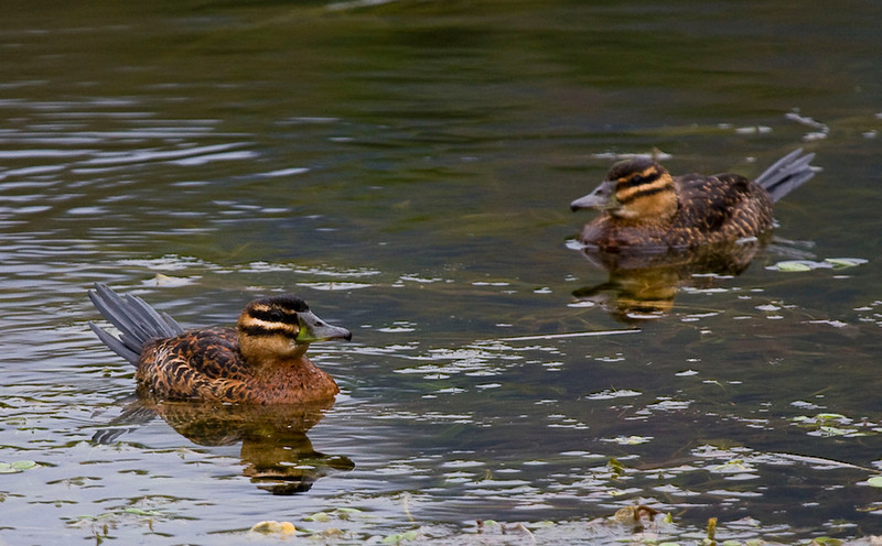 Two female Masked Ducks (Photo by guide George Armistead)