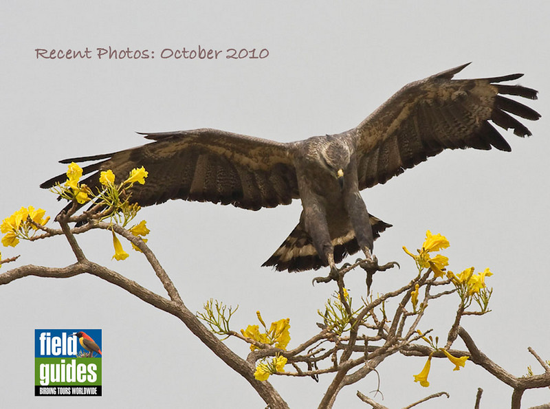 We've been traveling far and wide since our September gallery, and what follows is a small sampling from recent destinations, including four in South America plus one in Australia. We begin in Bolivia with this image by guide George Armistead of a Crowned Eagle, a particular highlight of this year's tour.