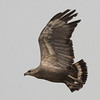 Another view of the same Crowned Eagle