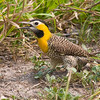 ...and Campo Flicker, also by George, is a regular sight in the open lowland areas of the northeast.