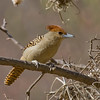 At more than a foot long, Giant Antshrikes (here a female) are truly giants in their family of birds. We were treated to fantastic views! (Photo by guide George Armistead)