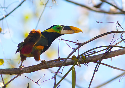 The colorful Gould's Toucanet is a regional specialty, confined mainly to forested areas north and west of the vast Pantanal. (Photo by guide Marcelo Padua)