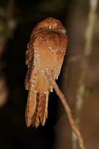 """Rufous Potoo -- one of the most distinctive birds around, including the """"keyhole"""" shape in the eye. (Photo by guide Marcelo Padua)"""