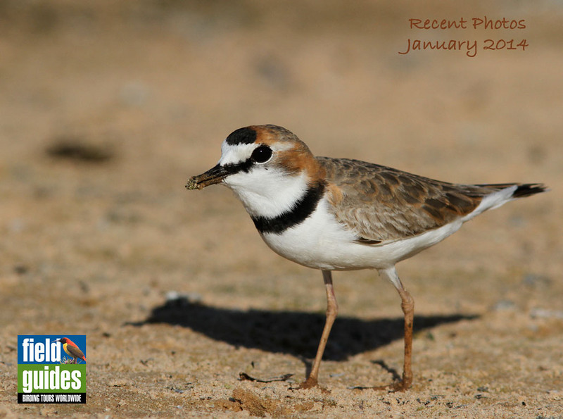 "We begin this month's gallery with an elegant Collared Plover by guide Marcelo Padua from one of our 2013 ""Jaguar Spotting: Pantanal & Garden of the Amazon"" tours. Other destinations featured in these 70+ images include additional Brazil tours, Peru, Australia, Madagascar, South Africa, and Alaska. Enjoy!"