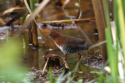 Guide Marcelo Padua caught this rare shot of a Red-and-white Crake foraging in the open for the group.