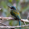 This Bronzy Jacamar put in a fine appearance as well! (Photo by guide Marcelo Padua)