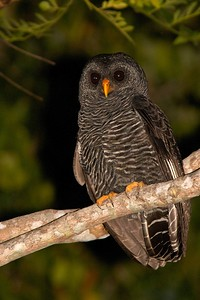 Our amazing look at this Black-banded Owl was a first at the Garden of the Amazon. (Photo by guide Marcelo Padua)