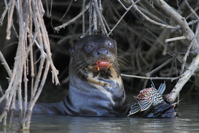 Jaguar wasn't the only mammalian highlight of the tour. We were thrilled to watch charismatic Giant Otters as well. This one looks like it's feasting on a catfish. (Photo by guide Marcelo Padua)