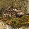 Lyre-tailed Nightjar is one of many species whose range is limited to a narrow elevational band along the Andes, and we were delighted to find this one roosting. (Photo by participant Kevin Heffernan)