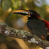 Chestnut-eared Aracari is a striking species widespread east of the Andes. This one has its brilliant rump feathers fluffed in the sunlight. (Photo by guide Marcelo Padua)