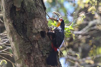 Timing is everything. We witnessed this Red-breasted Toucan raiding the nest of a Scaled Woodcreeper while the parent was in the cavity. That's one of the eggs going down the hatch! (Photo by guide Chris Benesh)