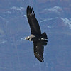 An Andean Condor in flight is truly a sight to behold. (Photo by participant George Sims)