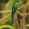 It's not a spatuletail, but Long-tailed Sylph still has to be one of the most elegant hummingbirds. (Photo by participant Kevin Heffernan)