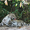 The intimacy of the experiences we share with Jaguars on this tour is stunning. (Photo by guide Marcelo Padua)