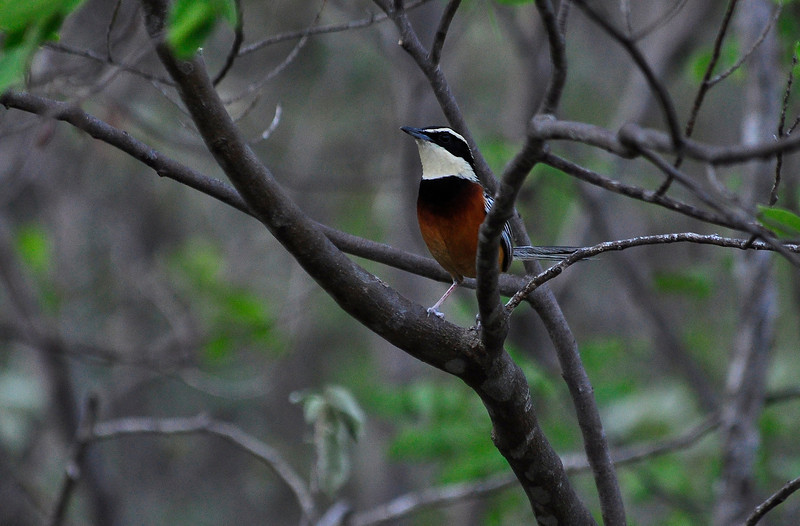 This bird is elegant, of course, but it's not an Elegant Crescentchest. Instead, it's the Marañon Crescentchest, with an extremely limited geographical range in northern Peru and adjacent southern Ecuador. (Photo by participant Brian Stech)