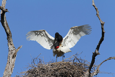 Well, since this Jabiru pair bothered to build such an enormous nest, they might as well... (Photo by guide Marcelo Padua)