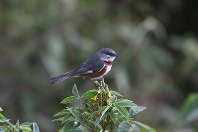 The tiny range of Bay-chested Warbling-Finch makes it one of the most-prized endemics in the Atlantic Forest. (Photo by guide Chris Benesh)